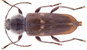 De larve van een boktor kan zich echter wel twaalf jaar aan uw houten vloer te goed doen. ©Udo Schmidt, op Flickr. Licensie: Creative Commons BY-SA 2.0